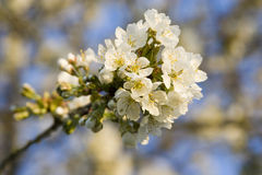 Flowered tree. White blossom of a apple tree in spring Stock Image