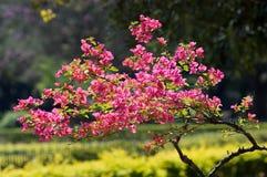Flowered tree royalty free stock photos