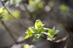Flowered tree. Royalty Free Stock Images