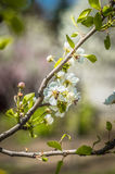 Flowered trees. Stock Images