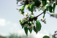 Flowered trees Royalty Free Stock Photography