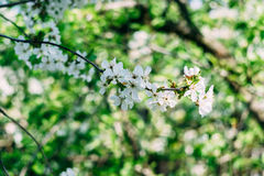 Flowered trees. Spring flowered trees with bokeh background Stock Photography