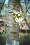 Flowered trees Stock Images
