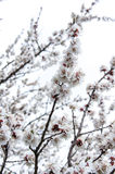 Flowered trees Royalty Free Stock Photos