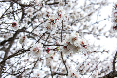 Flowered trees Royalty Free Stock Photo