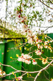 Flowered trees Royalty Free Stock Image