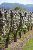 Flowered vineyard Stock Photos