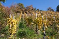 Flowered vineyards lanscape Royalty Free Stock Photos