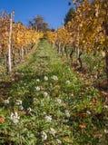 Flowered vineyards Stock Images