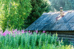 Flowered willow-herb. Blooming Ivan-tea for the old bathhouse. Bright and Sunny morning Stock Image