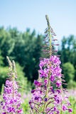 Flowered willow-herb. A bright, flowered willow-herb closeup stock photography