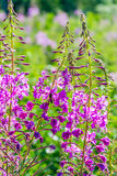 Flowered willow-herb. A bright, flowered willow-herb closeup Royalty Free Stock Images