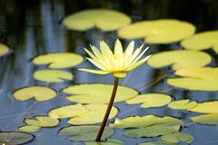 Floweres on Lillies. Flower on water lillies in a pond Royalty Free Stock Photos