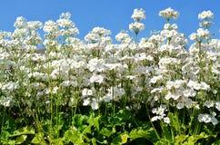 Flowerets bianchi (fondo del cielo) Fotografia Stock