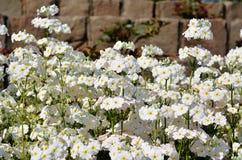Flowerets bianchi (fondo del mattone) Immagine Stock Libera da Diritti