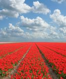 Flowerfield Royalty Free Stock Photo