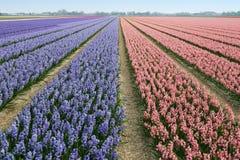 Flowerfield Stock Image