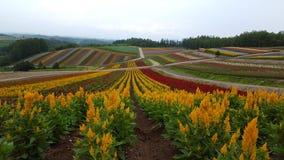Flowerfield Zdjęcie Royalty Free