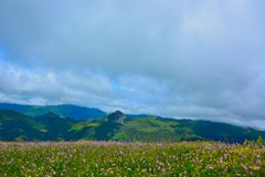 Flowerfield in the highlands. Flower-field in the highlands, and the mount Girou in the background between Vic-sur -cere and Le Lioran Royalty Free Stock Photography