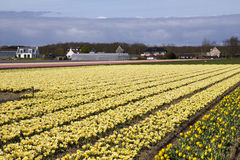 Flowerfield in Holland. Yellow flowers in an agricultural field in Holland, in the distance farms and greenhouses Stock Photos
