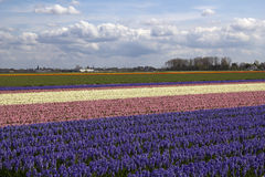 Flowerfield in Holland. Colorful hyacinth fields in rural Holland Royalty Free Stock Photo