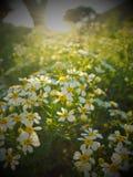 Flowerfield i solsken Royaltyfria Foton