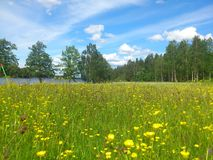 Flowerfield and lake. Flowerfield with Buttercup with a lake view Royalty Free Stock Images