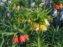 Flowerfield orange-foncé et jaune de l'aurore d'Imperialis de Fritillaria avec le fond coloré de tulipe de fleurs photo stock