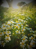 Flowerfield in sunshine. White and yellow flowers dissolving in the golden sunrays. warm glow. summer dream. feelgood. light Royalty Free Stock Photos