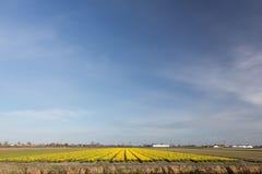 Flowerfield under a blue sky. Typical dutch yellow flower field with daffodils under a blue sky Stock Photo