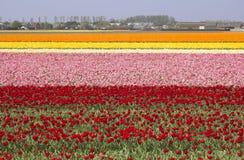 Flowerfields en Holanda Fotografía de archivo