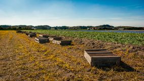 Egmond-binnen, the Netherlands - april 2016: Wooden harvest crates lay lined up at the edge of a bulbs field of grape hyacinths. Flowerfields of grape hyacinth Stock Images