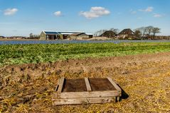 Egmond-binnen, the Netherlands - april 2016: Wooden bulb crate on field of flower farm near harvest time. Flowerfields of grape hyacinth in the Bulbs area in Stock Image
