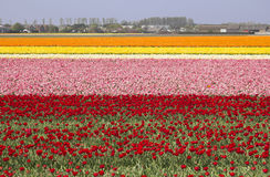 Flowerfields in Holland. Extensive flowerfields of many colors in Holland Stock Photography