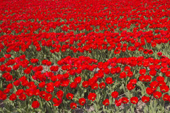 Flowerfields in Holland Royalty Free Stock Image