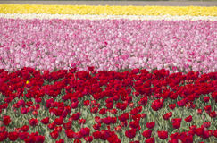 flowerfields holland Royaltyfria Bilder
