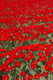 Flowerfields in Holland Stock Photo