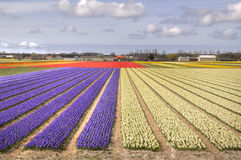 Flowerfields in Holland. Flowerfields and big sky in rural Holland Royalty Free Stock Images