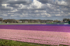 Flowerfields in Holland Royalty Free Stock Photos