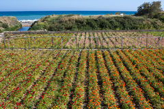 Flowerfields landscape, colorful buttercups near Taggia - Italy. Flowerculture along the Ligurian sea in the springtime royalty free stock photo
