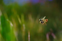 Flowerflies de acoplamiento en el aire con el fondo borroso Fotos de archivo
