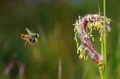 Flowerflies de acoplamiento en el aire con el fondo borroso Imágenes de archivo libres de regalías