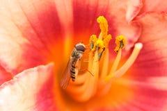 Flowerfly auf Blume Stockfoto