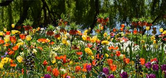 Flowergarden on spring, colorful beauty parkflowers, tulips,poppy. Flowergarden with many colorfully springflowers, red, yellow, purple, orange tulips, poppy stock photos