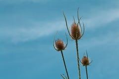 Flowerhead asciutto del cardo selvatico Fotografia Stock