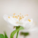 Flowerhead of cherry Stock Photography