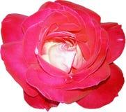 Flowerhead de Rosa vermelha do rosa da vista superior isolado no fundo branco Imagens de Stock Royalty Free