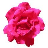 Flowerhead de Rosa vermelha do rosa da vista superior isolado no fundo branco Foto de Stock