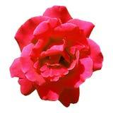 Flowerhead de Rosa vermelha do rosa da vista superior isolado no fundo branco Imagem de Stock