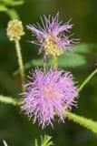 Flowerhead di un mimosa pudica Fotografie Stock Libere da Diritti